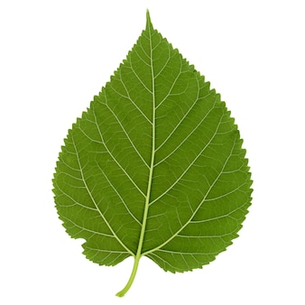 White mulberry tree (morus alba) leaf isolated over white