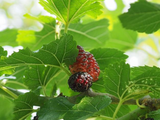 White mulberry tree (morus alba)