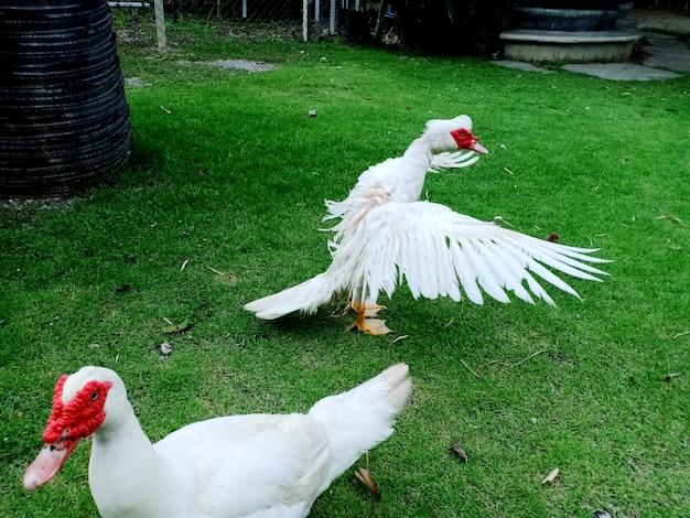 푸른 잔디 바닥에 흰 머스코비 오리