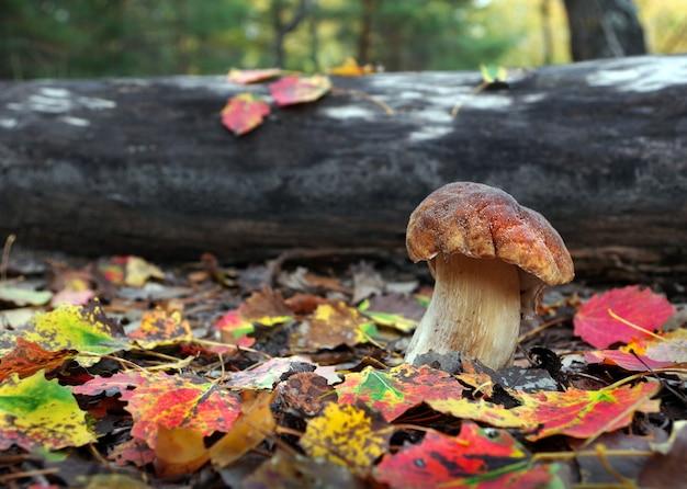 白いキノコ。秋の森で育つセップキノコ。ポルチーニ。キノコ狩り