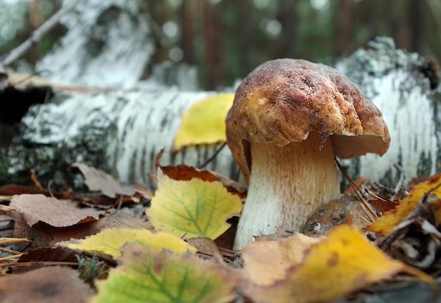 Белый гриб заделывают. белый гриб, растущий в осеннем лесу.