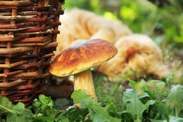 Белый гриб заделывают. гриб в траве на фоне кошки
