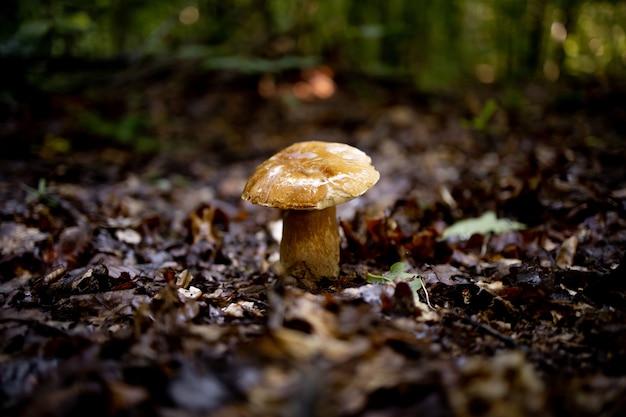 森の中の白いキノコ。茶色の帽子をかぶったキノコ。ヤマドリタケ。キノコ。