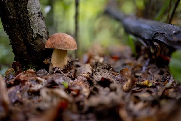 森の中で白いキノコ。ポルチーニ。キノコ。