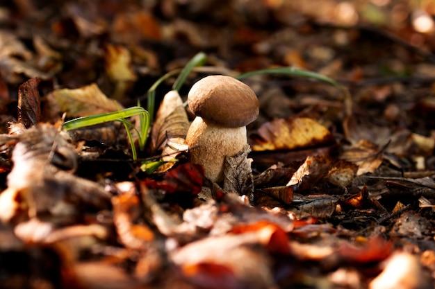 Белые грибы в лесу, на фоне листьев, яркого солнечного света. подберезовики. гриб.