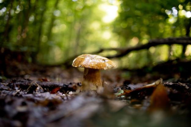森の中、葉の背景、明るい日光の下で白いキノコ。ポルチーニ。キノコ。