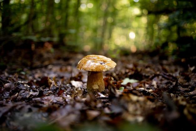 森の中の白いキノコ、葉の背景、明るい日光。ポルチーニ。キノコ。