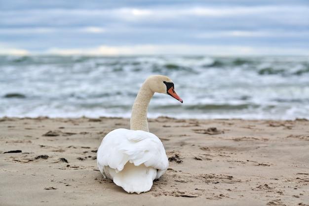 砂浜に座って休んでいる白いコブハクチョウは青いバルト海を聞きます
