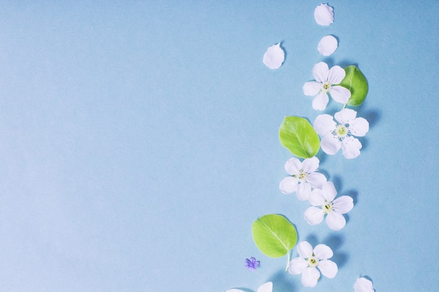 파란색 종이 표면에 흰 수 선화와 체리 꽃
