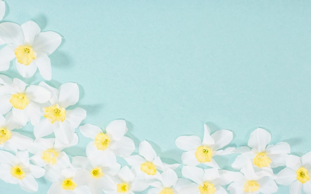 White narcissus on blue paper background