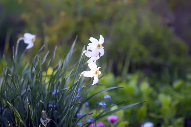 봄 정원에서 흰색 수선화 꽃입니다. 햇빛에 수 선화 식물입니다.
