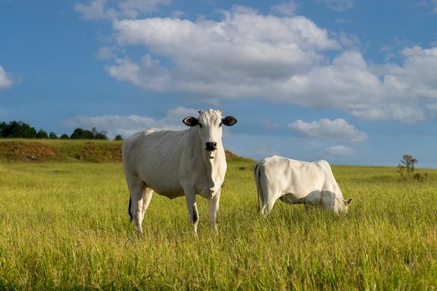牧場で放牧する白ネロール牛 Premium写真