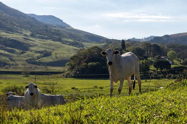목초지의 흰색 nelore 소