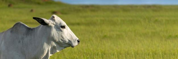 白いネロール牛。屋外フォーマット