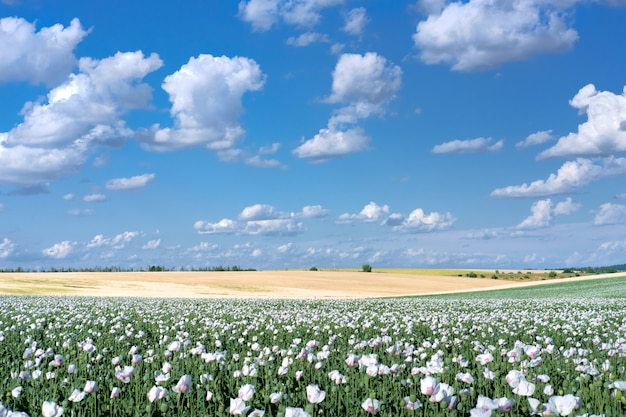 White opium poppy field, in latin papaver somniferum. cloudscape, sky with clouds. white color poppy is often grown in czech republic. picture taken in bohemia, south of prague.