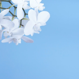 White orchid on a blue background.