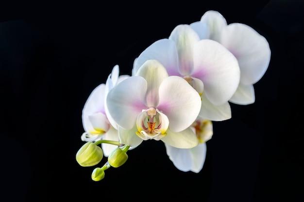 블랙에 고립 된 백색 난초 꽃입니다. 집 꽃, 취미, 라이프 스타일.