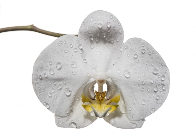White orchid flowers isolated on white background. white orchid.