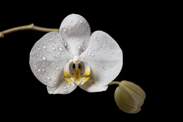 White orchid flowers with drobs isolated on black background. white orchid.