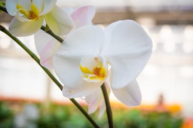 庭の白い蘭