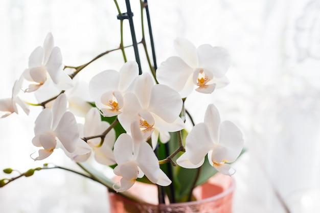 고립 된 흰 난초입니다. 부드럽고 사랑스러운 꽃은 예술적 구성, phalaenopsis 꽃, 텍스트 장소에서 볼 수 있습니다.