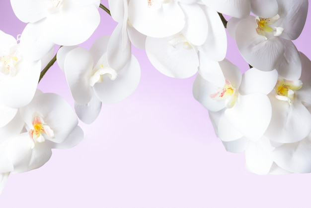 White orchid in pink pastel