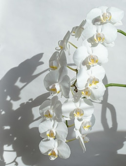 White orchids on light background with shadow.