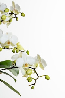 White orchids on side