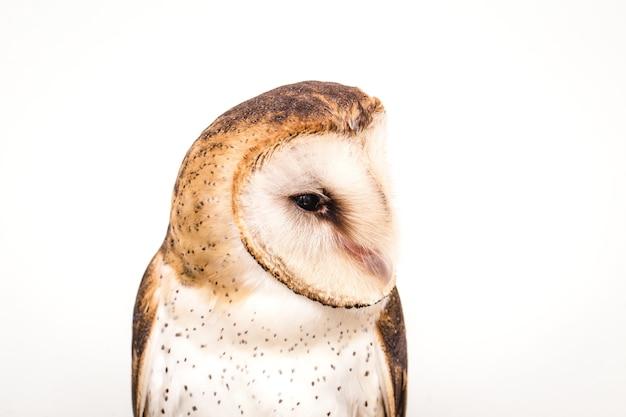 White owl, isolated on white background
