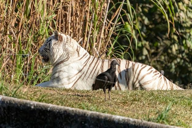 White Panthera Tigris Tigris는 아시아 본토의 토종 호랑이 아종입니다. 프리미엄 사진