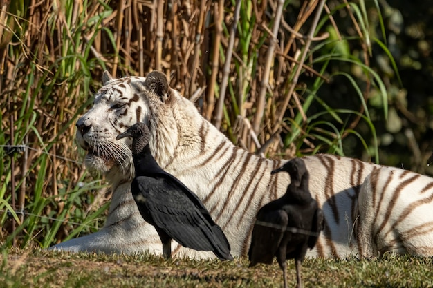 White panthera tigris tigris는 아시아 본토의 토종 호랑이 아종입니다.