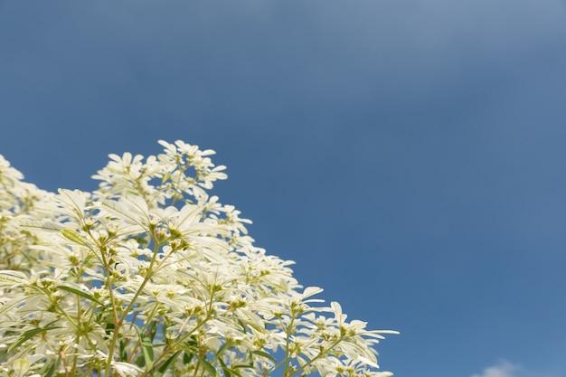 Белые цветы pascuita, изображение крупным планом в дневное время