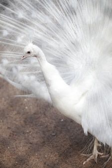 動物園の白孔雀