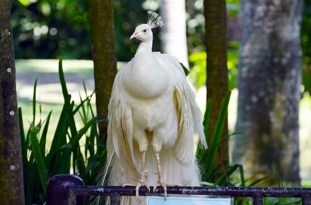 Белый павлин в тропическом лесу показывает белый хвост.