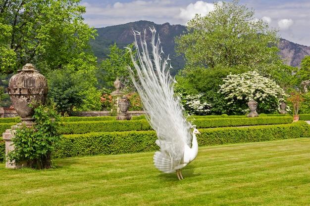 Белый павлин с открытым хвостом в парке, ломбардия, стреза, италия, сад изола белла