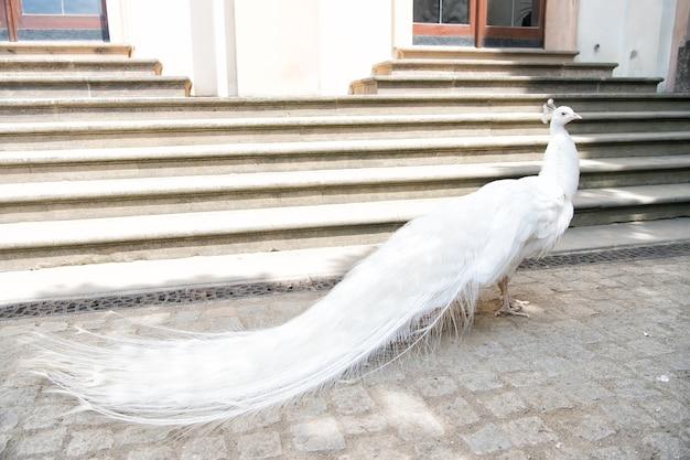 흰 공작은 계단에 꼬리 깃털을 펼쳐