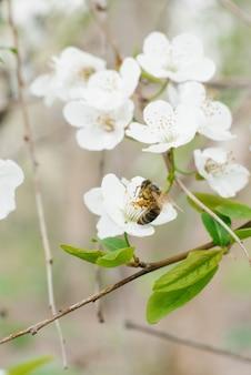 Белая груша цветет конец-вверх и сад пчелы весной. выборочный фокус. весеннее цветение и опыление