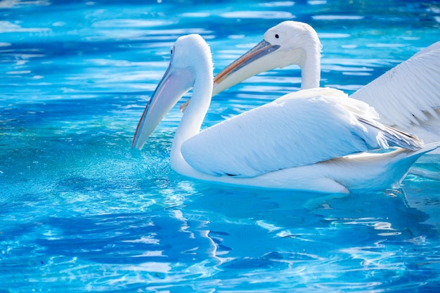 White pelican bird with yellow long beak swims in the water pool, close up