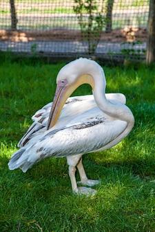 흰색 펠리컨은 깃털을 청소합니다. pelecanus onocrotalus