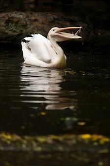 水中で魚を食べる白いペリカン