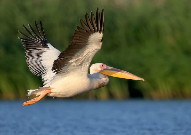 Белый пеликан летит навстречу восходу солнца и смотрит фотограф.