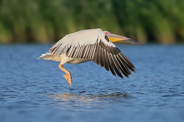 Полет белого пеликана навстречу восходу солнца в мягком утреннем свете.