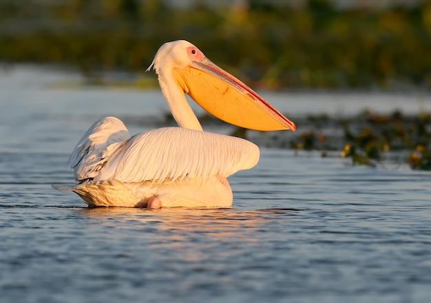 Белый пеликан плывет к восходу солнца