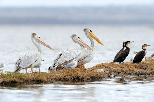 Белый пеликан в национальном парке озера накуру, африка