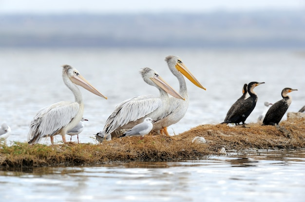 White pelican in lake nakuru national park, africa
