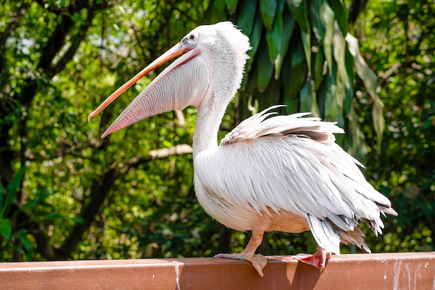 A white pelican in a park sits on fence close-up. bird watching