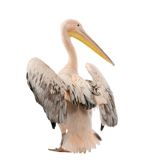 White pelican -  pelecanus onocrotalus on a white isolated