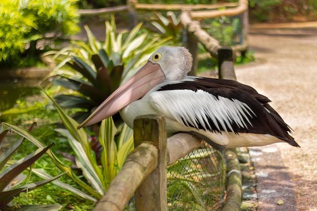 Белый пеликан сидит на заборе
