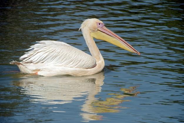 青い湖で泳ぐ白いペリカン