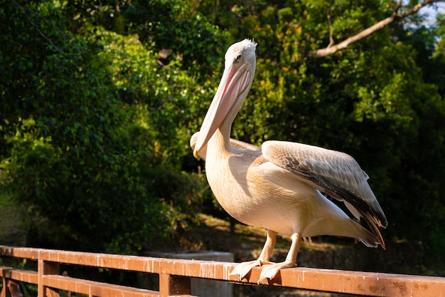 The white pelican that lives in the bird park sits on the railing of the bridge